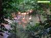 Pelícanos en Xaman Ha